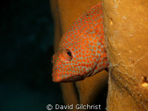 Graysby Portrait, Roatan Honduras-SeaLifeDC1000 by David Gilchrist 